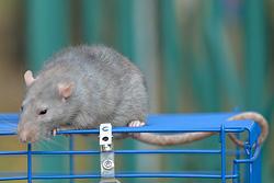 Последний крысиный завтрак