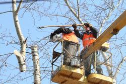 «Коммерческий» на связи: Как подстричь старое дерево?