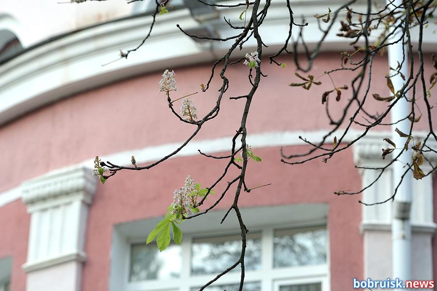 В Бобруйске зацвели каштаны. Это хорошо или плохо?